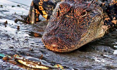 Cá sấu khổng lồ nhận thất bại đau đớn trước chú cua nhỏ bé