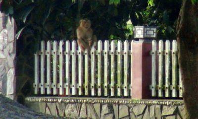 Khỉ đực sổng chuồng, đại náo cả khu phố