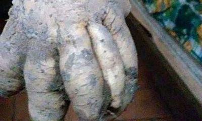 Củ từ có hình dạng giống bàn tay người