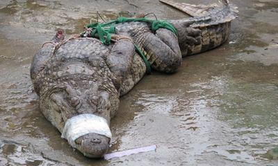 Cá sấu sổng chuồng đã bị bắn chết