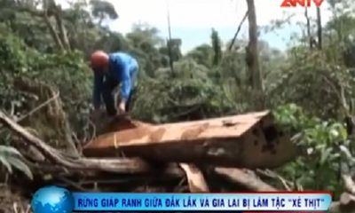 """Video: Rừng giáp ranh Đắk Lắk-Gia Lai bị lâm tặc """"xẻ thịt"""""""
