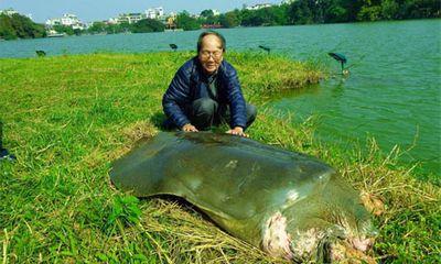 Miền Bắc - Hà Nội: Cụ rùa nằm nghỉ ngơi khá lâu trên Tháp rùa