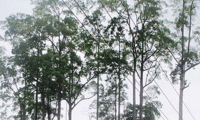 Quần thể Chò Chỉ gần 600 năm được công nhận Cây Di sản Việt Nam