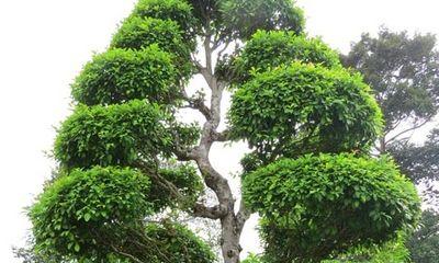 Hai cây cổ thụ tại Khu mộ cụ Nguyễn Sinh Sắc là cây Di sản Việt Nam