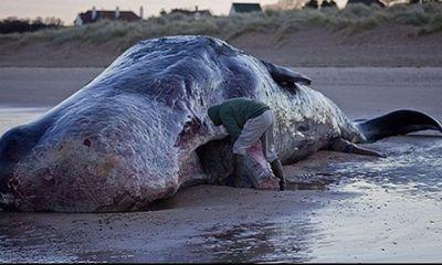 Video: Cận cảnh cá voi khổng lồ 35 tấn trôi vào bờ