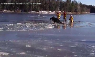 Lính cứu hỏa giải cứu nai sừng tấm khỏi hồ nước đóng băng