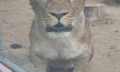 Say xỉn và vuốt ve sư tử, nhân viên vườn thú bị cắn nát tay