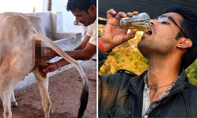 Ấn Độ: Người đàn ông uống và tắm bằng nước tiểu bò để chữa bệnh