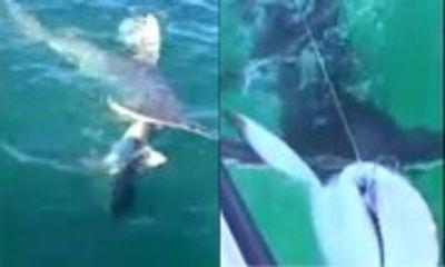 Khoảnh khắc cá mập đầu búa ngoạm đứt đôi mình cá mập voi