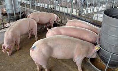 Giá lợn xuống thấp kỷ lục dù Tết cận kề