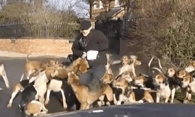 Video: Xem đàn chó săn hung dữ truy đuổi, xé xác cáo