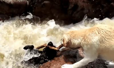 Video: Khoảnh khắc chú chó cứu bạn khỏi dòng nước xiết