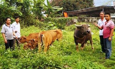 Nhóm 8X vào rừng trộm trâu, bò bán lấy tiền đánh bạc bị bắt giữ
