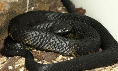 Một người đàn ông chết do bị rắn độc cắn