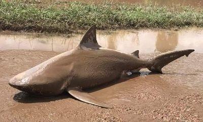 Cá mập ăn thịt người xuất hiện trên đường Australia