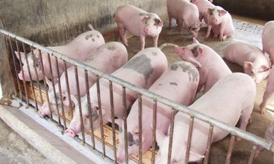 Chuyện khó tin: Giá 1 kg thịt lợn hơi chỉ bằng 4 cốc trà đá