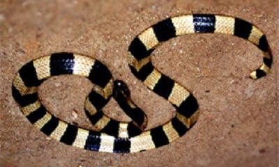 Bệnh nhân bị rắn độc cắn xin về nhà chờ chết, bác sĩ kiên quyết từ chối
