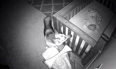 Bố mẹ đứng hình khi xem camera ghi lại cảnh chú chó đi vào phòng em bé lúc 2 giờ sáng
