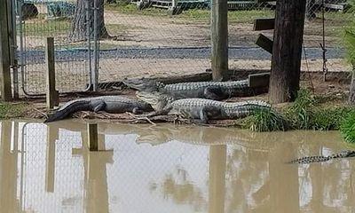 Dân Mỹ lo sợ khi 350 cá sấu sổng chuồng sau siêu bão Harvey