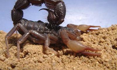 Cái chết đau đớn đến tột cùng khi bị bọ cạp phun độc Nam Phi đốt