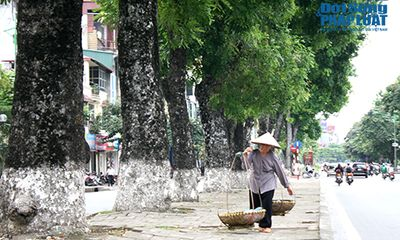 Chùm ảnh: Hàng xà cừ trên đường Kim Mã trước ngày di chuyển