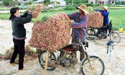 Giá hành củ Lý Sơn cao kỷ lục, nông dân thu lãi hàng chục triệu đồng
