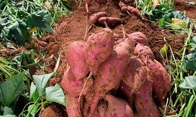 Giá cao tới 400 nghìn đồng/kg,khoai lang Hàn Quốc vẫn được chị em săn đón