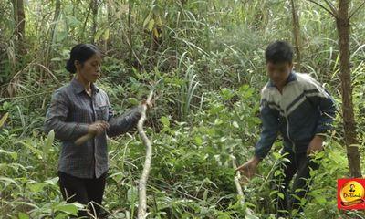 Niềm vui của hai mẹ con nghèo ở xã Cốc Đán khi nhận bò của Lục lạc vàng