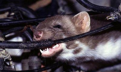 Land Rover bạc tỉ tan tành vì 1 con chuột: Đấu trí suốt 5 ngày không bắt nổi