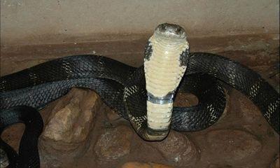 Bị rắn độc cắn, suýt mất mạng vì đắp thuốc thầy lang