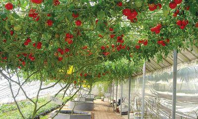 Cây cà chua bạch tuộc