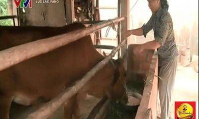 Người phụ nữ đơn thân nhờ nuôi bò Lục lạc vàng mà có tiền chữa bệnh