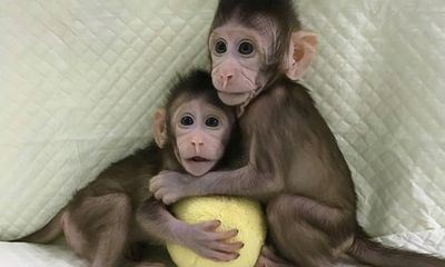 Nhân bản vô tính thành công ở khỉ, tiếp theo sẽ đến con người?