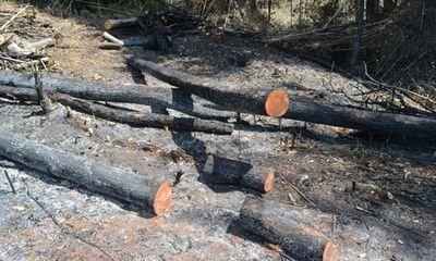 10 héc ta rừng cách chốt bảo vệ 1km bỗng nhiên bị phá trắng