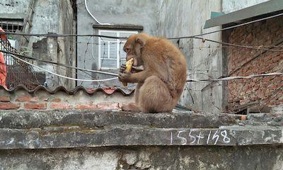 Chuẩn bị bắn thuốc mê 2 con khỉ bắt gà, ăn trộm trứng giữa trung tâm Hà Nội