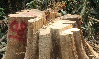Phó Chủ tịch tỉnh Quảng Nam sẽ đích thân kiểm tra hiện trường rừng phòng hộ bị chặt phá