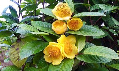 Ba loại thảo dược cực quý tại Việt Nam