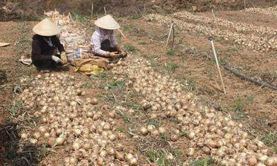 Hành tây giá 3000/kg, khoai tây cũng chỉ 4000/kg, nông dân Đà Lạt
