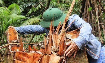 Quảng Nam: Rừng lim cổ thụ hàng trăm năm tuổi bị