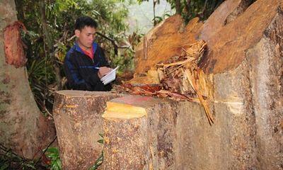 Đình chỉ công tác 6 cán bộ kiểm lâm liên quan vụ phá rừng ở Quảng Nam