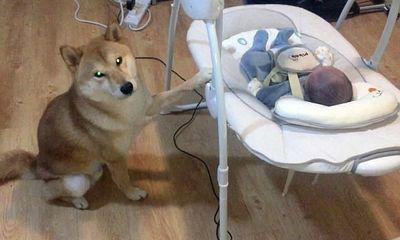 Chú chó chăm chú đưa nôi cho em bé ngủ gây sốt cộng đồng mạng