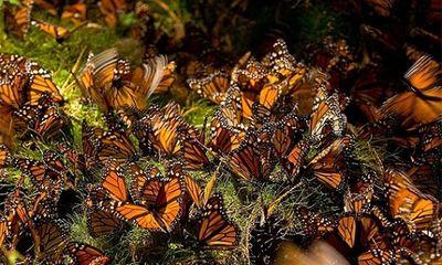 Choáng ngợp cảnh tượng di cư của bướm vua