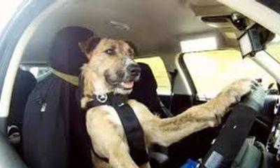Video: Kinh ngạc chú chó có tài lái ô tô