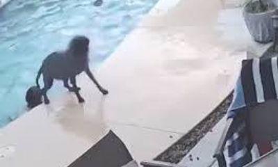 Video: Chú chó thông minh giải cứu bạn bị đuối nước khiến nhiều người khâm phục