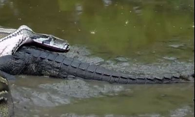 Video: Trăn Miến Điện khổng lồ kết liễu cá sấu Nam Mỹ trong