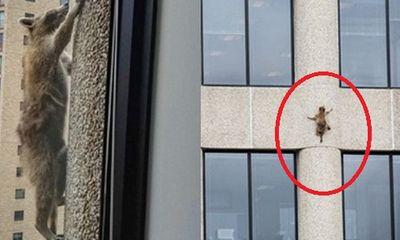 Thót tim xem gấu mèo liều lĩnh leo dọc tường tòa nhà 23 tầng