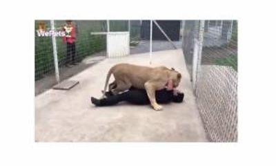 Video: Sư tử mừng rỡ, quấn quýt khi gặp lại người từng nhận nuôi