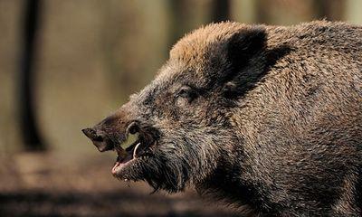 Clip: Lợn rừng bị