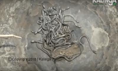 Video: Hàng trăm con rắn hổ mang chúa bò lúc nhúc trong nhà