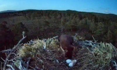 Video: Chồn thông trộm trứng chim ưng